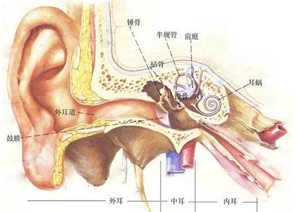 耳部结构图